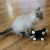Is Our Kitten a Siamese Mix? - kitten with toy