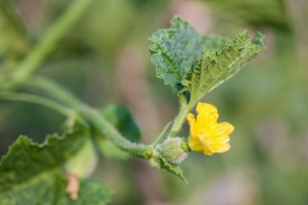 A melon plant with a yellow blossom.