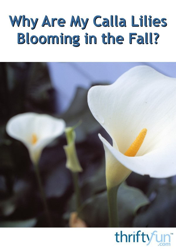 Why Are My Calla Lilies Blooming In The Fall Thriftyfun