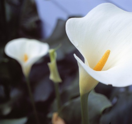 A close up of blooming Calla Lilies.