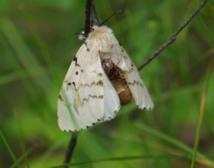 A Gypsy Moth on a twig.