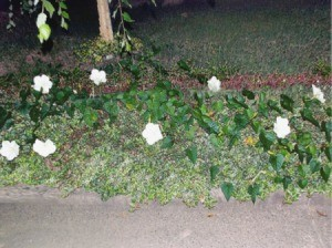 When To Plant Moonflower Vine (Ipomoea alba) Seed