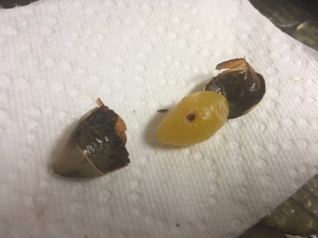 How to Prepare Ginkgo Nuts - The shells have opened a bit more on their own and the interior nut is a a luminescent green color.