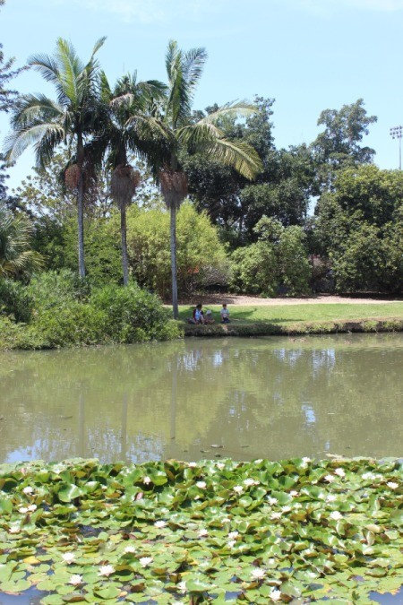 A pond with palm trees and lily pads at Fullerton Arboretum.
