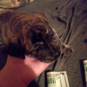 Is My Dog a Full Blooded Pit Bull? - brown and black brindle coated puppy