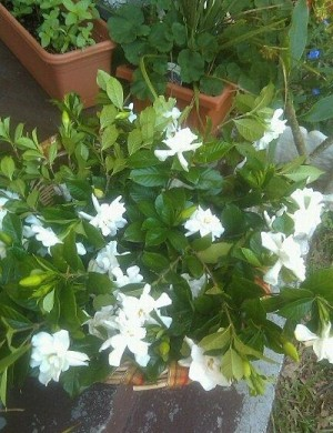 A gardenia plant with many white blossoms.