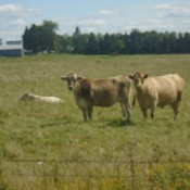 A collection of cows in a grassy field.