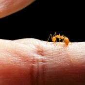 A fire ant biting someone's finger.