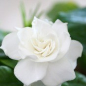 A beautiful white gardenia.
