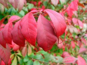Burning bush leaves.