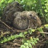 Mourning Dove Chicks - chicks in a fern basket