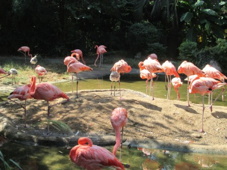 A collection of flamingos in a reserve in South Carolina.