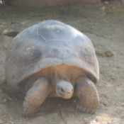 A Galapagos giant tortoise at the SC Zoo.