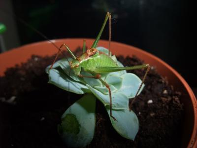 Grasshoppers as Pets