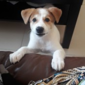 Caring for a Puppy with Parvo - brown and white puppy with front feet on arm of couch
