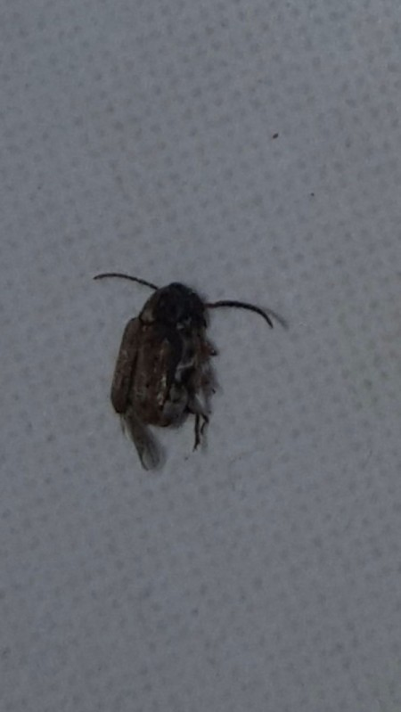 Getting Rid of Flying Bugs in the Kitchen - small black bug