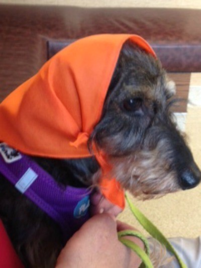 Clarence Winston (Wirehair Dachshund) - wearing an orange scarf