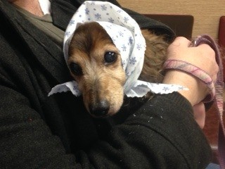 Clarence Winston (Wirehair Dachshund) - female dog wearing a scarf, being held