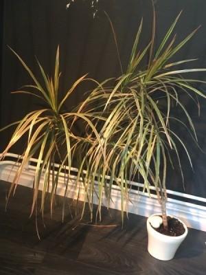 Identifying a Houseplant - dracaena like houseplant