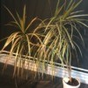 Identifying a Houseplant - dracaena like houseplant