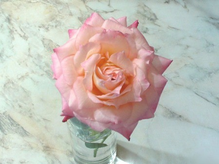 A very light pink and cream rose on a marble background.