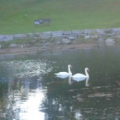 A pair of swans swimming at Confederation Park
