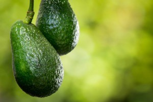 Two avocados growing on a tree.