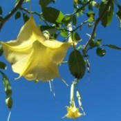 Angel's Trumpet - yellow trumpet blooms