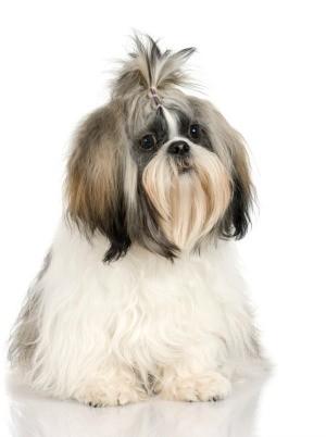 Photo of a well groomed shih tzu dog.