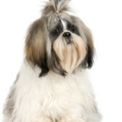Photo of a well groomed shih tzu dog.