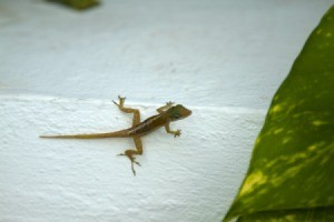 A lizard on a porch.