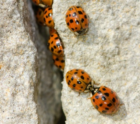 Asian lady bugs climbing up a wall.