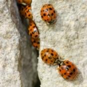 Asian lady bugs climbing up a wall.