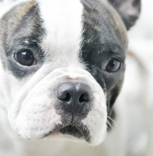 Photo of a French Bulldog's face close up.