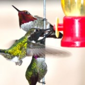 Three hummingbirds crowded around a feeder.