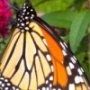 Busy Butterfly (Monarch Butterfly) - butterfly on flower