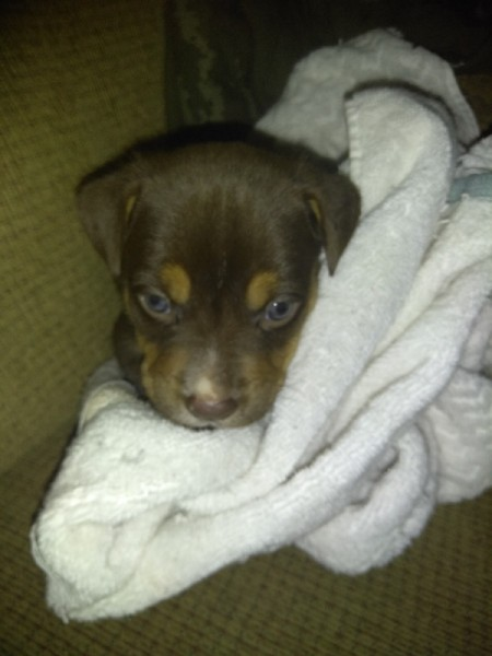 Is My Dog a Full Blood Pit Bull? - brown and tan puppy in a blanket