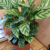 Identifying a Houseplant - plant with light and darker striped leaves