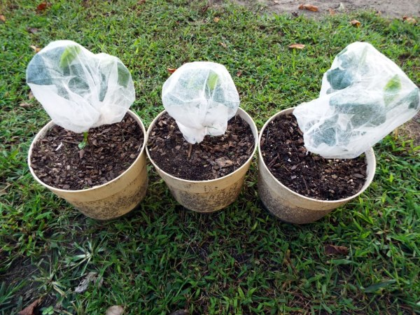 Hairnets To Protect Small Plants - plants covered with hair nets