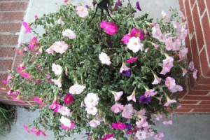 Watering Hanging Baskets - very droopy petunias