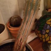 Cactus Turning Brown