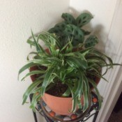 What Is This Houseplant?- plant with long grass like medium green leaves with lighter edges