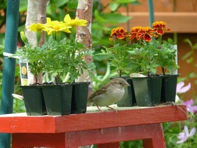 A sparrow between two sets of marigolds, ready to plant.