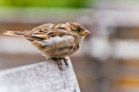 A perching sparrow.