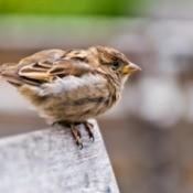 A perching sparrow.