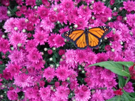 A monarch just released, on a pink flower bush.