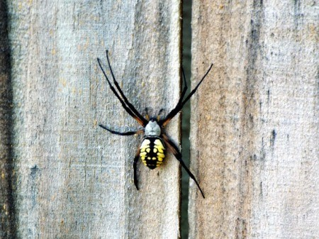 A large argiope spider on a wood fence.