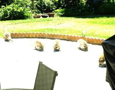 A bunch of raccoons in a backyard.