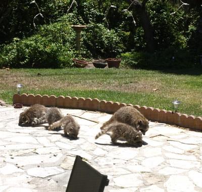 A bunch of raccoons in a backyard