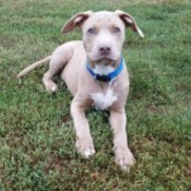 Is My Pit Bull Full Blooded? - beautiful tan colored Pit Bull puppy